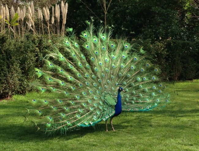 hollandparkpeacock